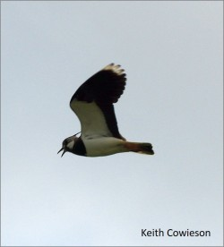 blog Lapwing