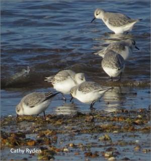 wwrg sanderling