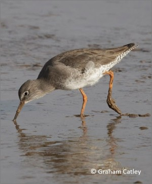 blog Redshank