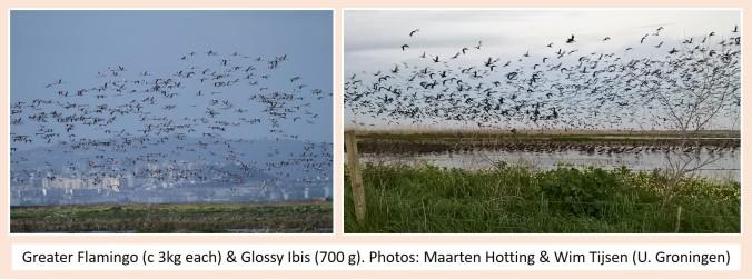 flamingo and ibis