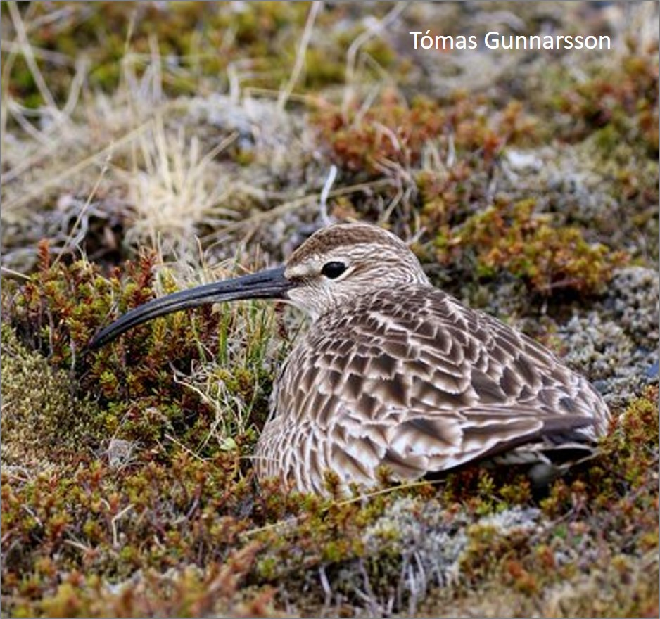 pic whimbrel